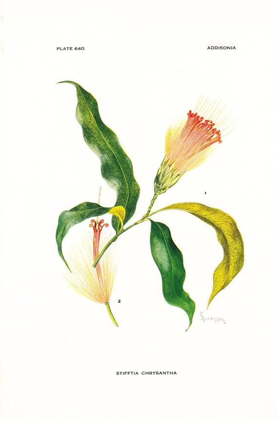 1936 Botany Print - Stifftia Chrysantha - Vintage Antique Flower Art Illustration Book Plate for Framing