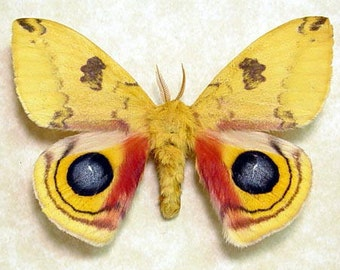 Real Framed Automeris Io Colorful North American Silk Moth 8088