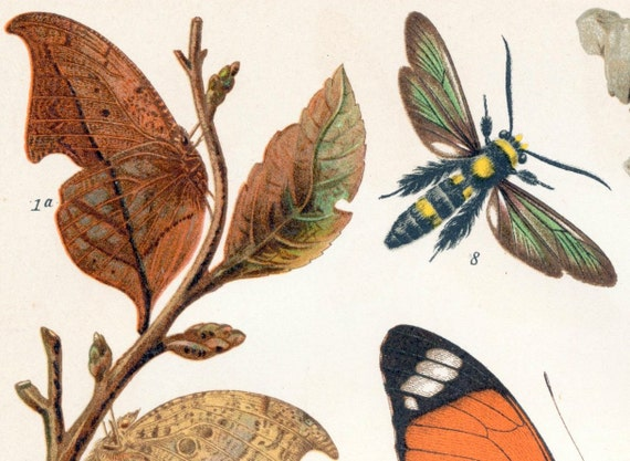 1895 German Antique Chromolithograph of Undercover Insects (Insect Mimicry)