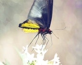 Black, White, Yellow Butterfly in Garden with White Flower- 8x10 - Photographic Print on Metallic Paper - Made by artstudio54