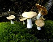 Set of 3 Brown top clay mushrooms-Terrarium decor-Fairy garden forest -Set of 3 Assorted sizes