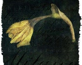Remnants - Fine Art Photograph - Daffodil, Spring, Yellow, Decay, Nature, Floral - 5 x 5 - bibliographica