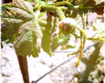Ecluse Young Vine, Fine Art Photograph by DENISE SLOAN
