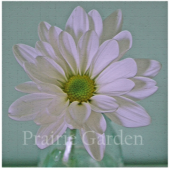 Daisy on Celadon- Fine Art Photograph - Available to Ship Now
