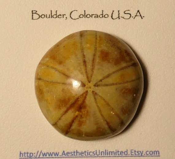 Sale SAND DOLLAR Natural Polished Sand Dollar Fossil From Madagascar Sale