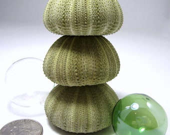 Beach Decor Sea Urchin Shells - Nautical Decor Green Sea Urchins, Striped 2PC, 2 inch