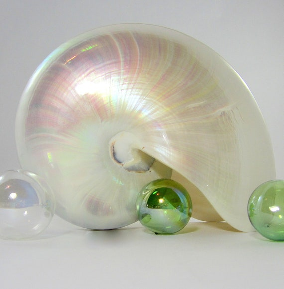 "Beach House Decor Nautilus Shell - Nautical Decor Nautilus Seashell - Nautilus Sea Shells - Beach Wedding Shells - Coastal Decor - 5-6"""