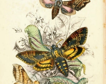 "Antique Natural History Print ""Death's Head Moth and Friends"" Woodland Forest Illustration - Butterfly Art Print"