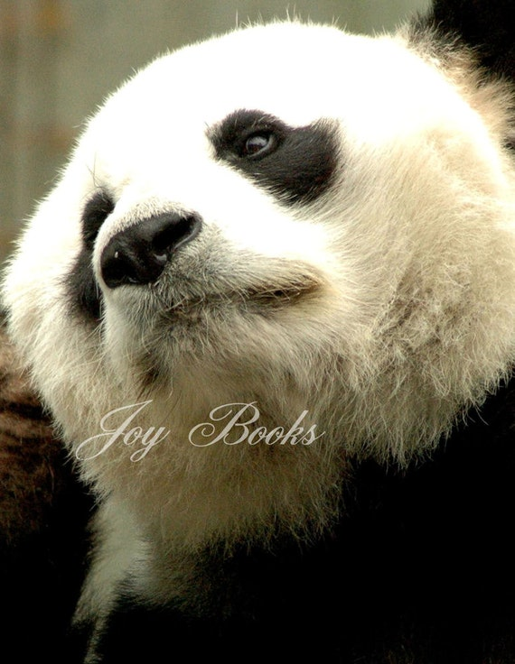 PANDA Note Card Live Panda Bear In China Close Up, Black & White, Wild Animal In Captivity, Protected Animal, Endangered Species, Black Eyes