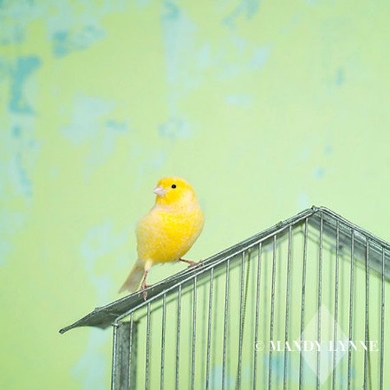 Canary song