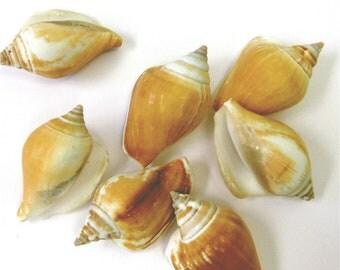 Canarium Shells - 5