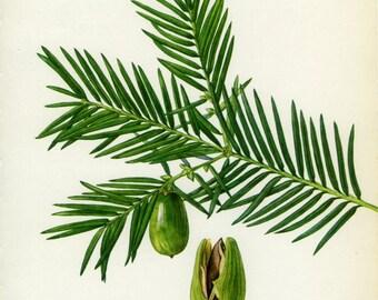 Vintage Tree Print, California Nutmeg, Torreya Californica, Botanical, Ornamental, Nature, Landscape, Book Plate 25, 1969