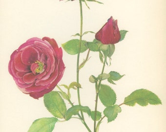 Red Rose Print, Vintage Rose Print, Crimson Glory, 8x10 Botanical, Shabby Rose Decor, Country Home Decor, Country Cottage Decor, 1966/79