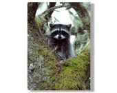 Baby Raccoon Fine Art Photograph- Wildlife Photography - Oregon Wildlife - Raccoon Photos - Kids Room Art - Nursery Art