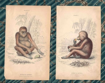 1833 pair of monkeys original antique ape prints - the red or asiatic orangutan
