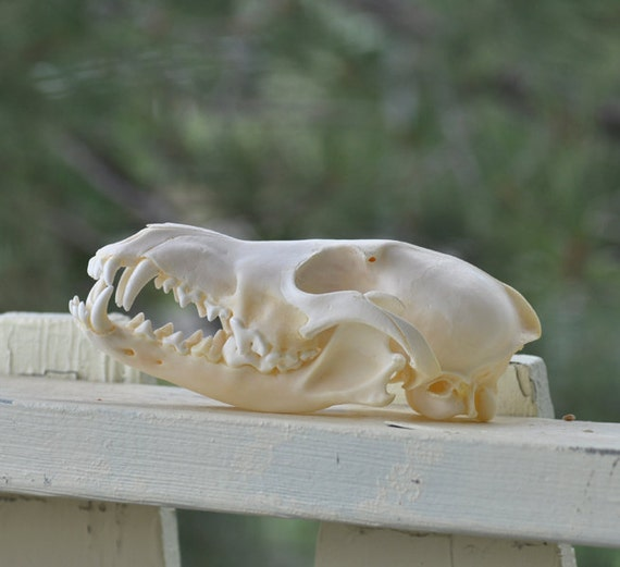Real Beautiful Large Coyote Skull