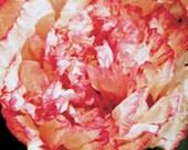 Poppy, Organic Flemish Antique Poppy Seeds - Pretty Peony Poppy