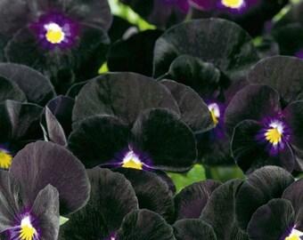 Viola, Bowles Black Viola Mix Seeds