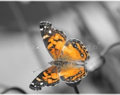 American Painted Lady Butterfly on Chives, Connecticut, orange, color tint, Fine Art Photography