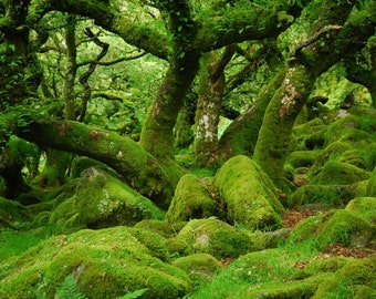 Green lady of the woods Wistmans Wood Dartmoor  Devon  A4 Photographic Print