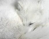 Sleeping Arctic Fox LGD278 12x16 print