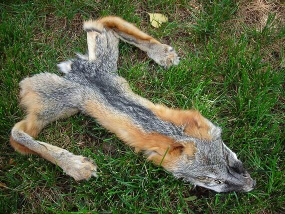 Gray Fox Taxidermy Fur Roadkill Front Half