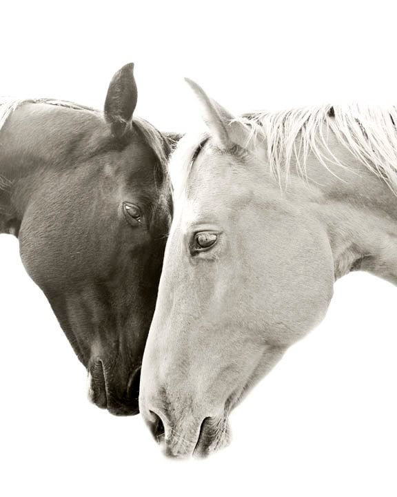 Two white horses together