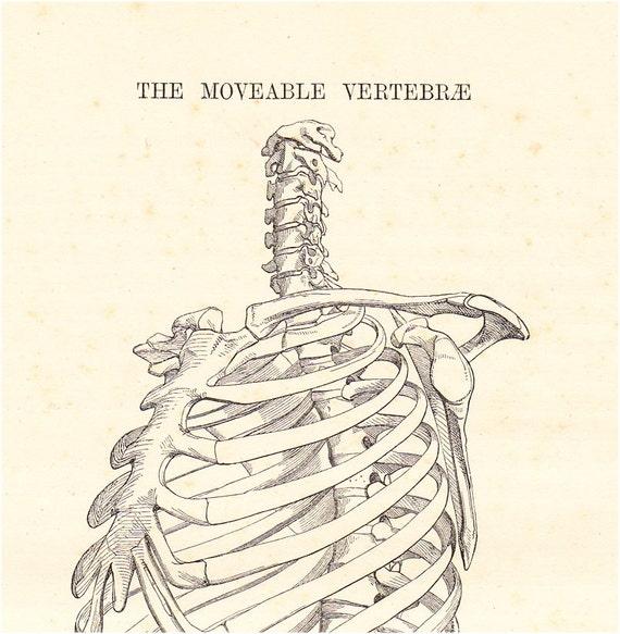 1890 Victorian ANATOMY engraving, mobile vertebrae backbone, anatomy for artists,  SKELETON, Largue print