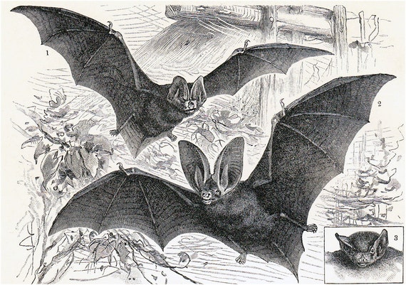 1908 Edwardian BAT print, different and spooky bats, vampires, old zoological lithograph