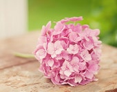 Pink flower on vintage table -  fine art photography print - spring photo soft feminine green rustic vintage hydrangea