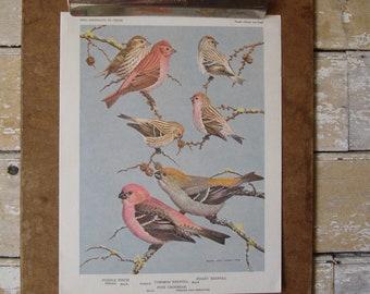 Vintage Finch Birds Print  Artist Allan Brooks 1960