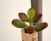Succulent Cork Magnet, Vineyard Jade