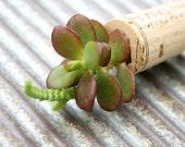 Succulent Cork Magnet,  Sterling Jade