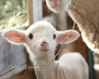 promise  - fine lamb photography (and so farm fresh) 8x10 hardbacked photograph