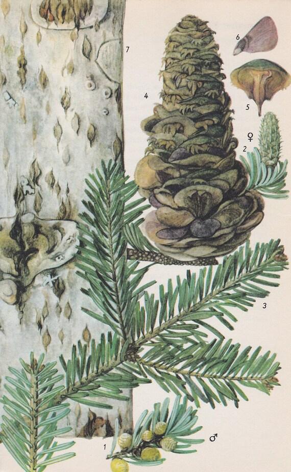 Vintage Tree Print, Silver Fir