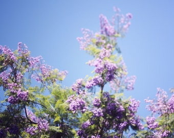 Jacaranda Tree IV - 8x10 Fine Art Photograph