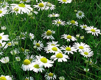 Chamomile Roman Herb Plant-Herb plants-100% Chemical Free