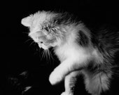 Aly (alucard) - 4x6 inch photography print - matted to 5x7 - window mat - black and white kitty photo