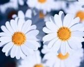 Macro Photography Flower Photography Nature photography spring decor  daisy white blue wall decor  Fine Art Photography print