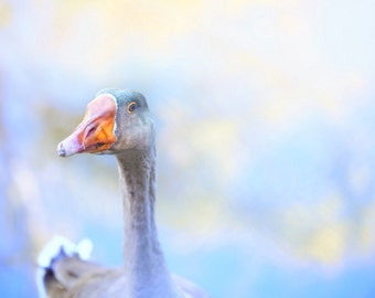Bird Photography Nature Photography Bird Watching Goose photography pastel minimal  country  Wall Art Home Decor Animal Photography