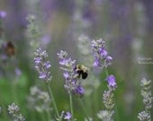 SALE (50% off) - Herb Note Card Set - Five Photo Note Cards - Lavender - Mint - Drying Herbs - Lamb's Ear