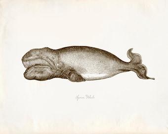 Vintage Sperm Whale 8x10 P225