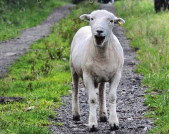 Laughing sheep  Fine Art Photography Download