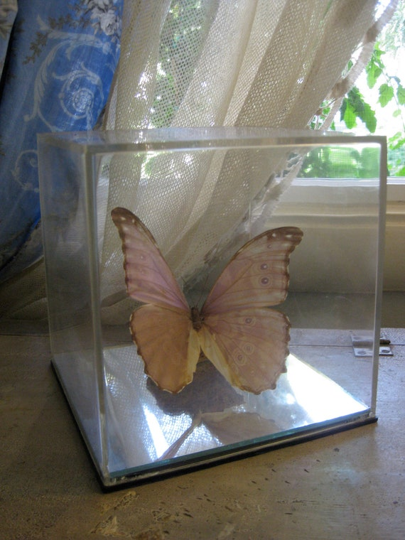 HUGE Cased Vintage Real Taxidermy Butterfly Iridescent Blue Pink