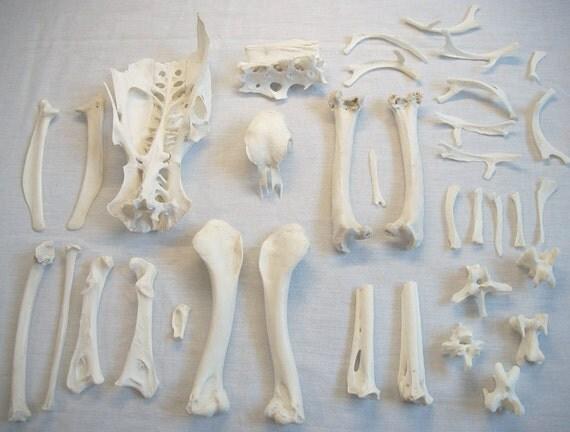 Eastern Turkey Bones and Partial Skull