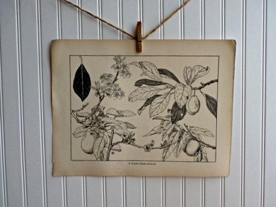 LARGE Vintage Plant Form Print-Book Plate-Plum. Pear. Peach-1903-Found in Dublin-