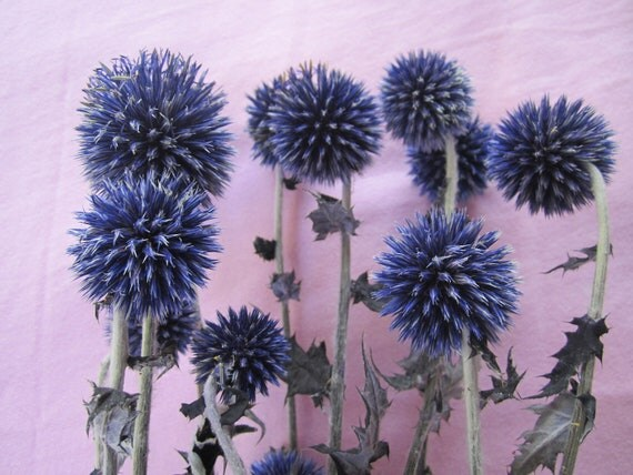 "Dried Globe Thistle -- set of 3  -- Preserved  -- 3"" long Purple / Blue"