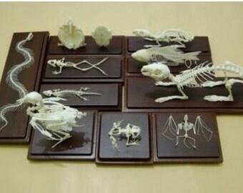 Real skeletons,10 in 1 skeletons specimen, good quality