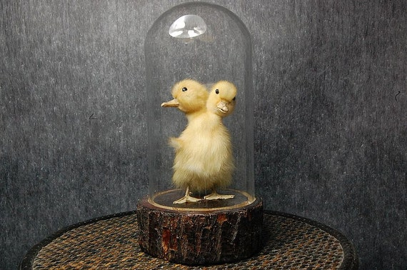 taxidermy of two head freak duckling made by 2 ducklings mounted with case