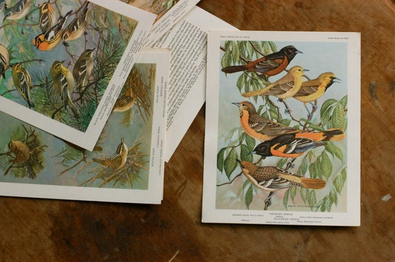 Vintage Bird Illustration, Meadowlarks, Blackbirds Ready to Ship